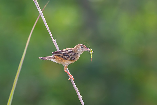 Zitting Cisticola, 棕扇尾鶯