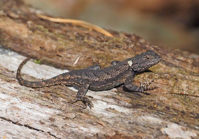 Eastern Fence Lizard - Sceloporus undulatus, Meadowood SRMA, Mason Neck, Virginia