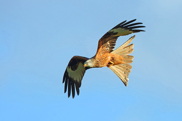 Red Kite, Argaty, Stirlingshire