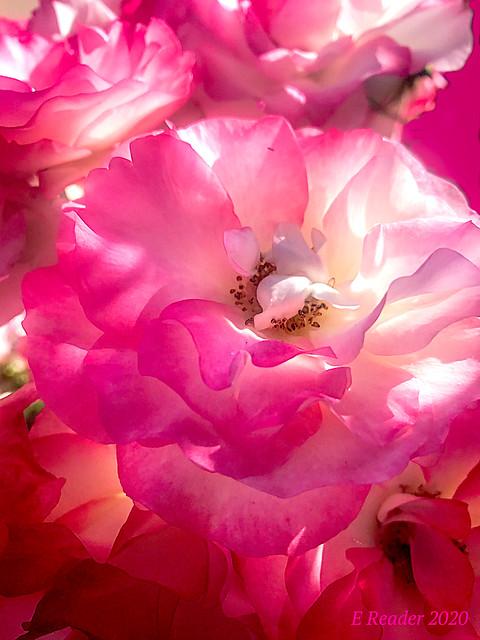 The Rose of China (Rosa sinensis)