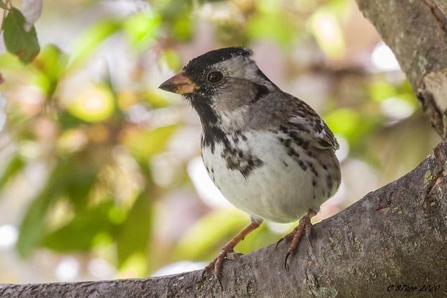 IMG_1026 harris sparrow