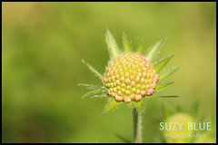 Scabious, flowering soon