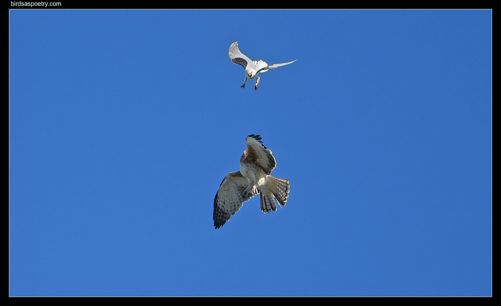 Black-shouldered Kite, Little Eagle, Standoff