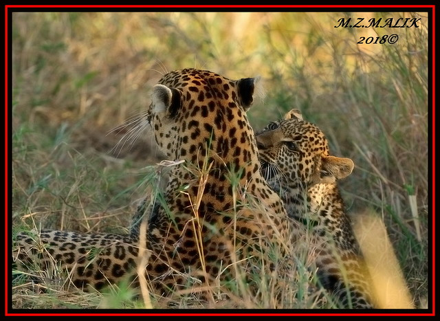 FEMALE LEOPARD AND HER CUB (Panthera pardus) ...MASAI MARA.....SEPT 2018.
