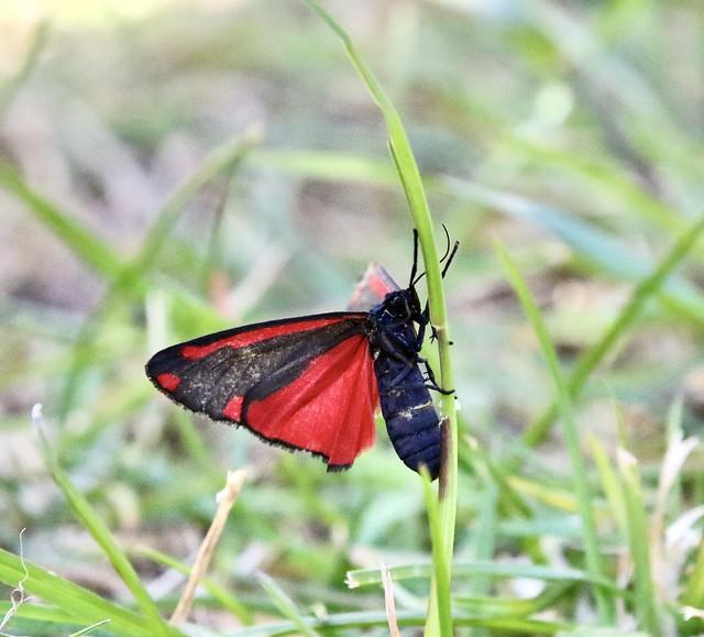 Cinnabar Moth in the garden
