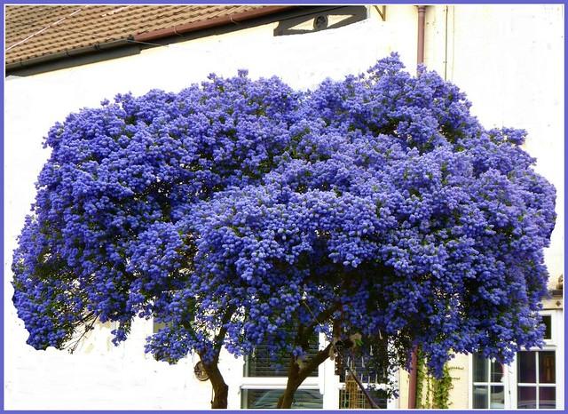 Californian Lilac Tree ..