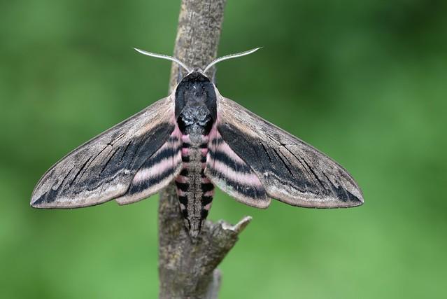 Privet Hawk-moth (Sphinx ligustri) 1 of 2