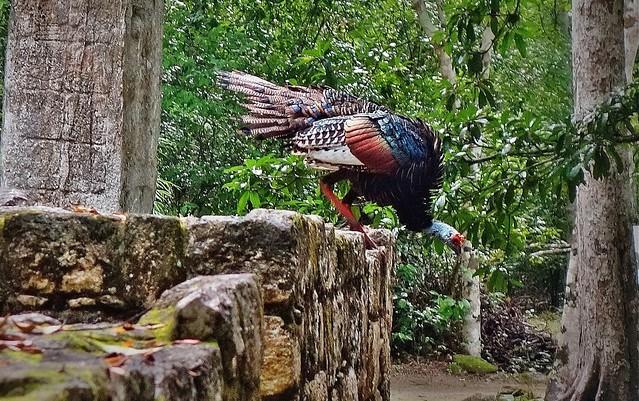 MEXICO, Mayastätte Calakmul, inmitten eines unendlich scheinenden Dschungels. verborgen, versteckt im tiefen Urwald , wilder Truthahn 19768/12695