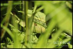 14-spot Ladybird, hiding