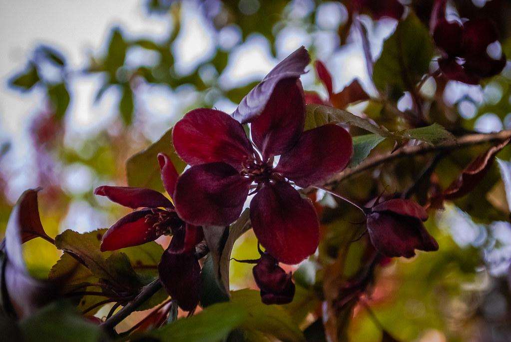 beautiful flower  Яблоня Нездвецкого