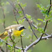 yellowthroat1 2020_05_14