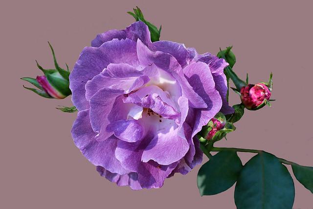Un rose pas vraiment ... rose !