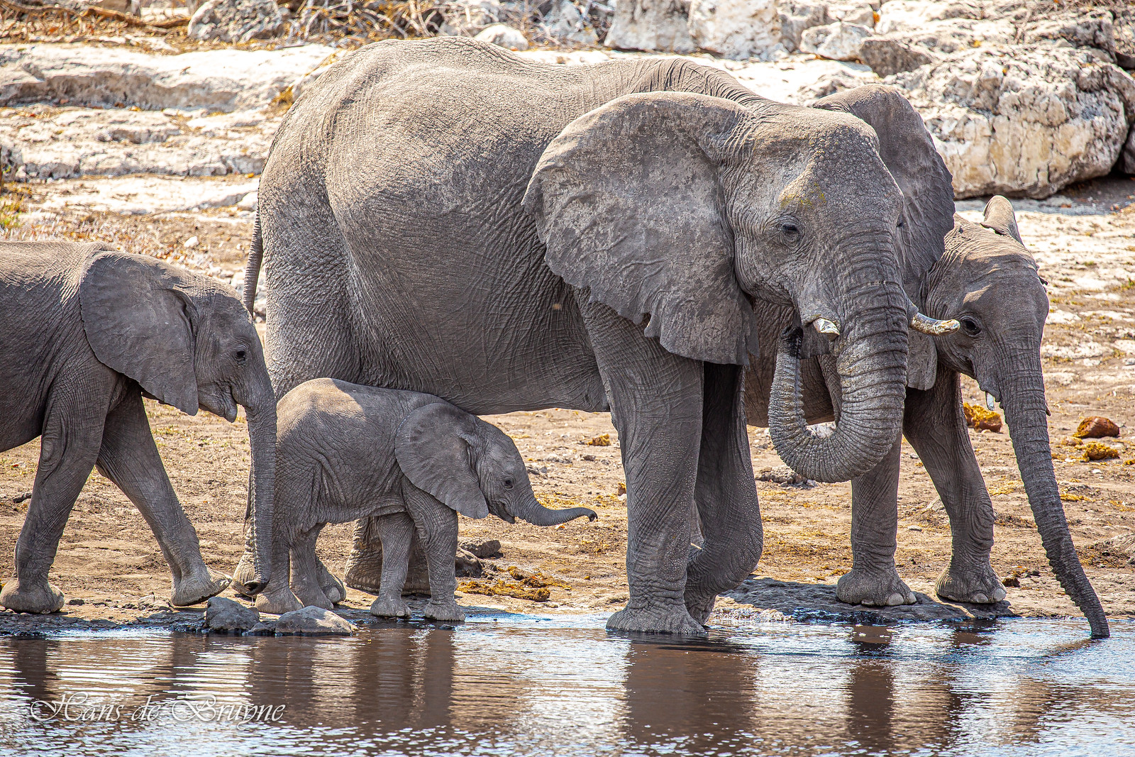 Elephant family by the pool
