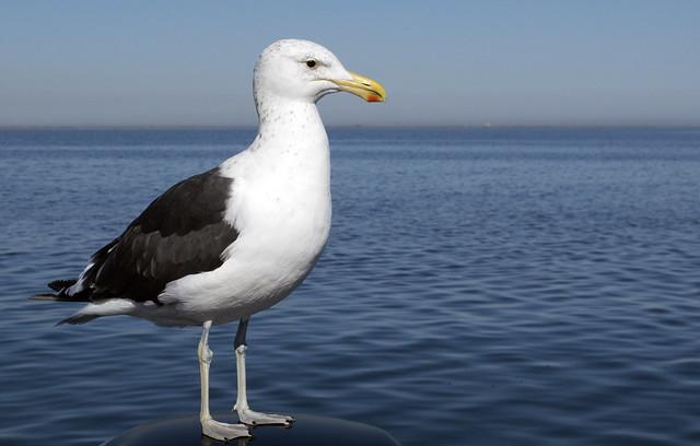 Dominican gull (Larus dominicanus) portrait, Walvis Bay, Namibia