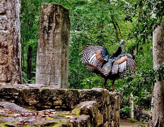 MEXICO, Mayastätte Calakmul, inmitten eines unendlich scheinenden Dschungels. verborgen, versteckt im tiefen Urwald , wilder Truthahn 19767/12694