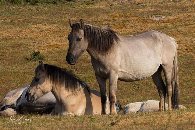 Konik horses | Konik paarden