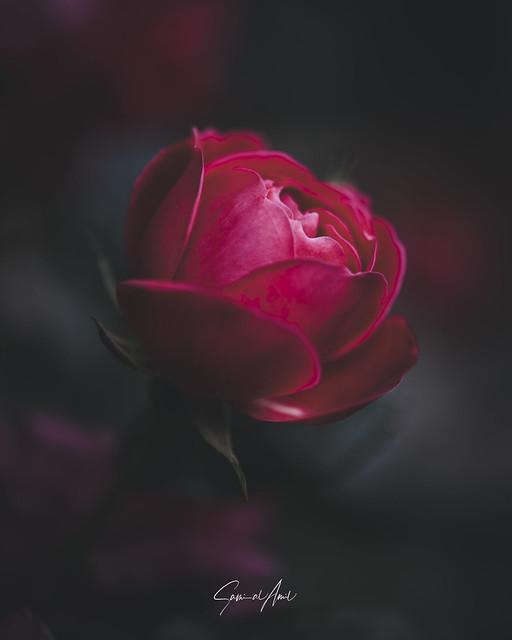 A Dreamy Rose