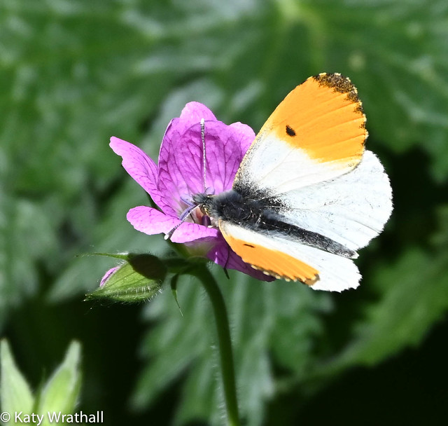 Orange tip butterfly on wildflower