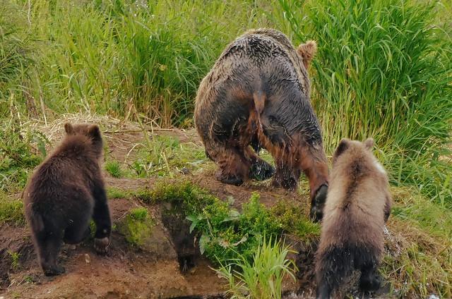 Hembra de oso pardo con sus crías