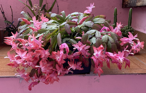 The Pink Christmas Cactus or Pink May Flower at home, São Caetano do Sul (town), São Paulo (State), Brazil. | by ER's Eyes - Our planet is beautiful.