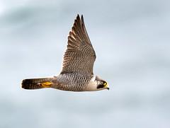 Male Peregrine Falcon.