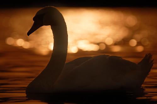 swan sunset silhouette norfolk broads whitlingham broad jonathan casey wildlife bird photography