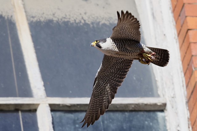 Peregrine Falcon,male with food