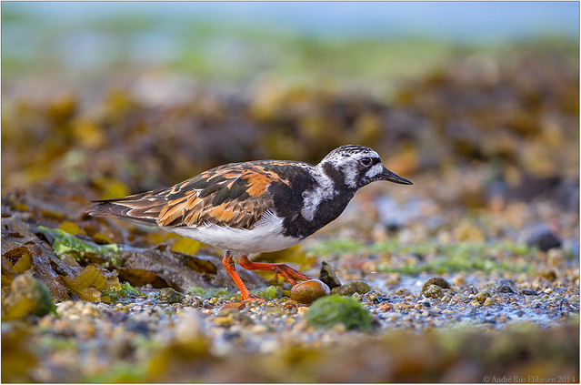 Turnstone in a beautiful symphony of colors