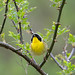 yellowthroat2 2020_05_14