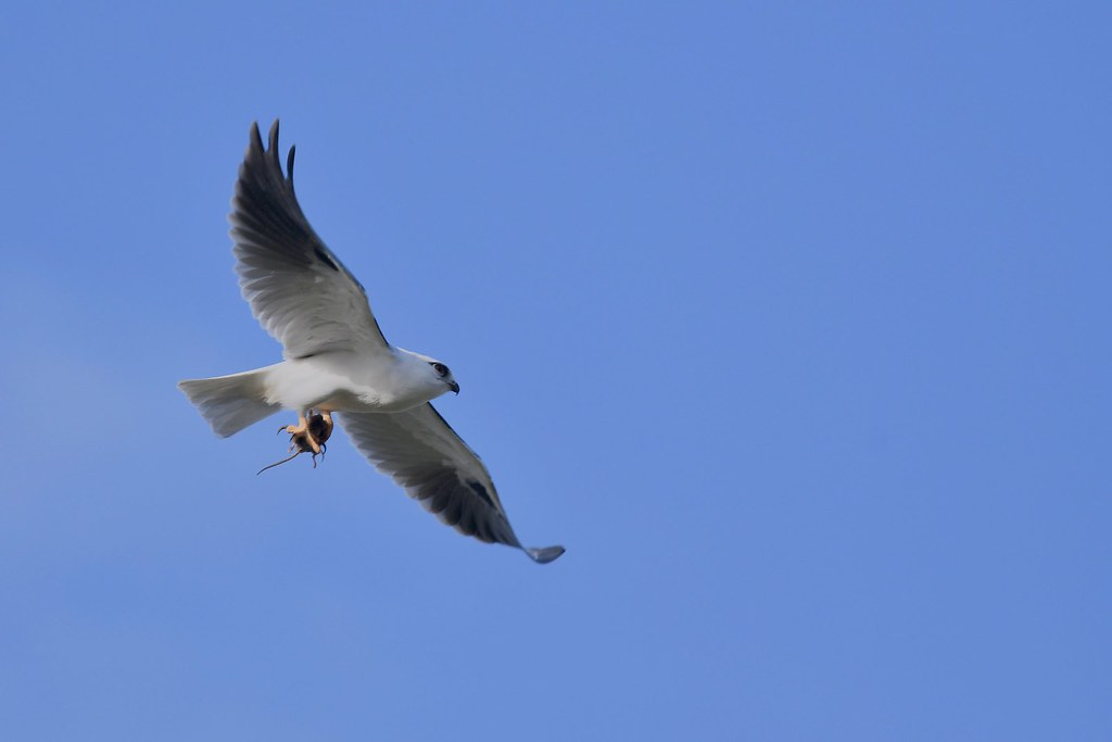Black -shouldered Kite ( Bronson is back  )