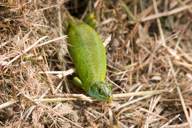 Madame lézard vert occidental ♀ (Lacerta bilineata)