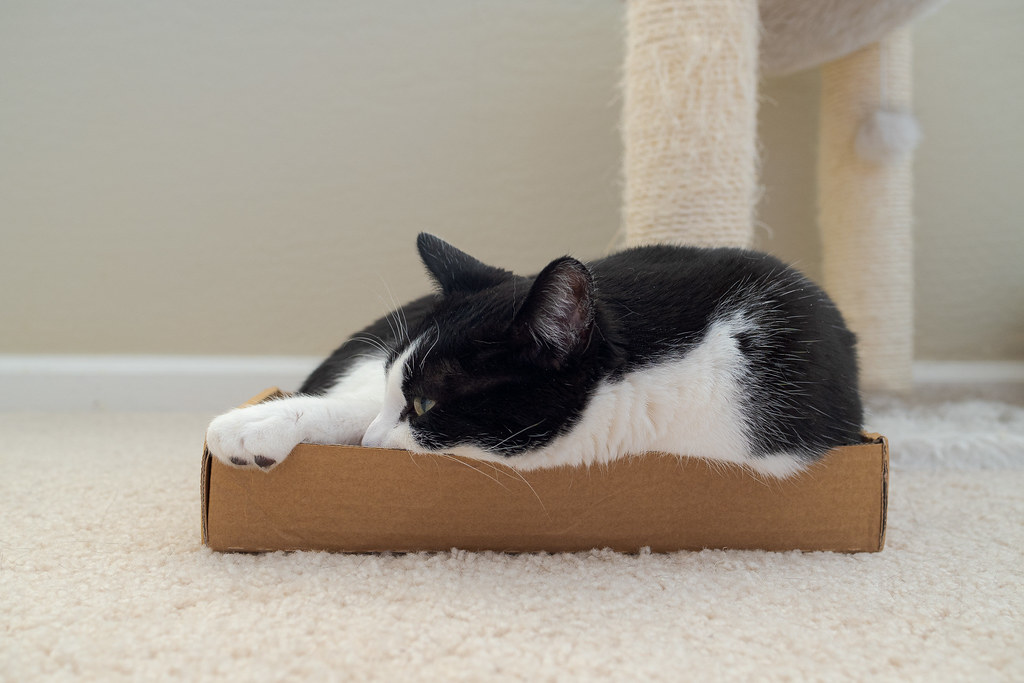 Our cat Boo sleeps in a cardboard box with low walls in May 2020