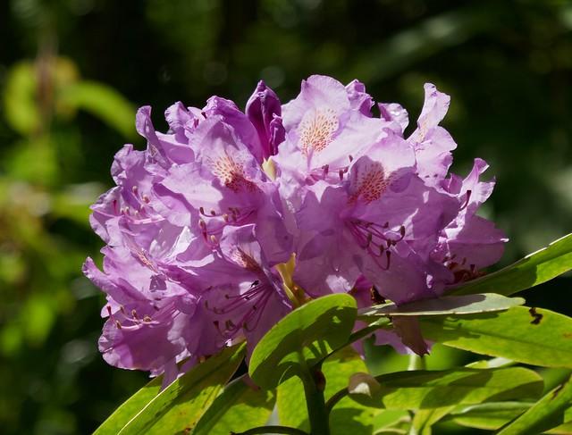 Au jardin, rhododendron hybride, Bosdarros, Béarn, Pyrénées Atlantiques, Nouvelle-Aquitaine, France.