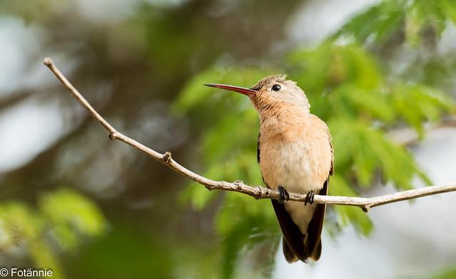 Zimtbrustkolibri / Buffy Hummingbird
