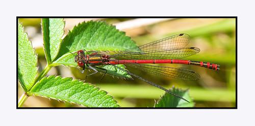 Large Red Damselfly III