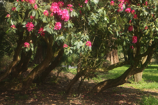 In the Shade of Rhododendron