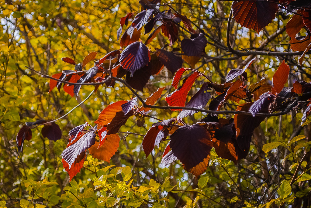 Beautiful red leaves !  17:14:47 DSC_5675-2