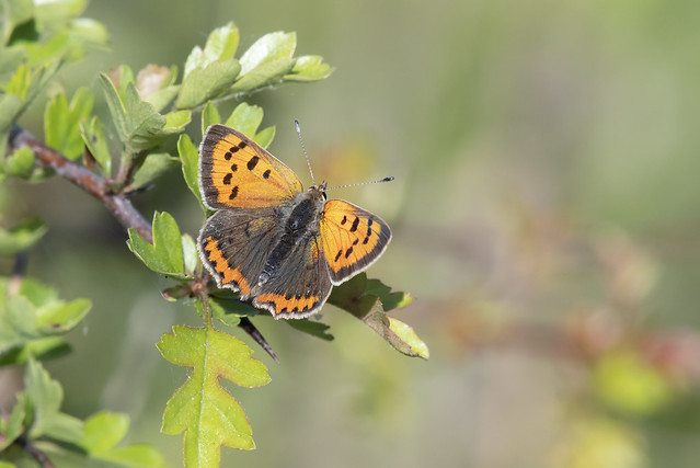 Small Copper (Lycaena phlaeas).