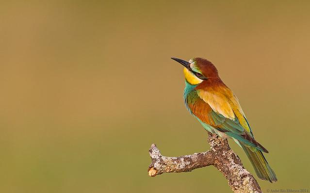 European Bee-eater La Mancha, Spain