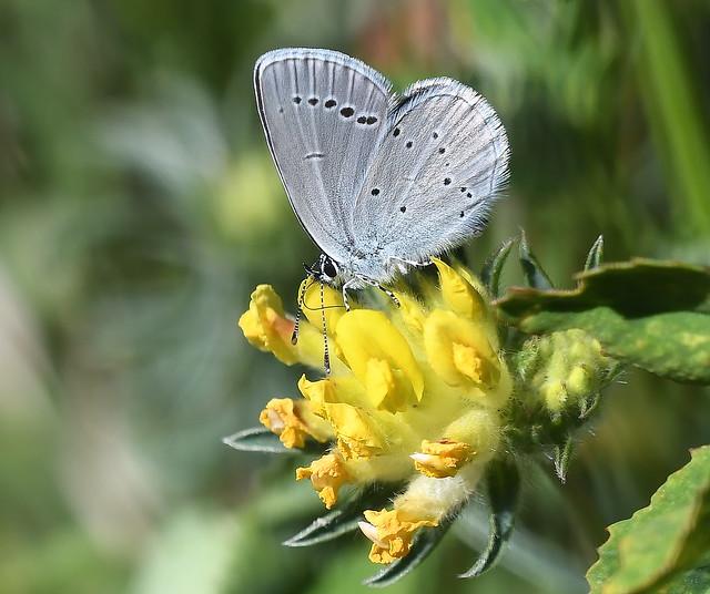 Small Blue (Cupido minimus)....