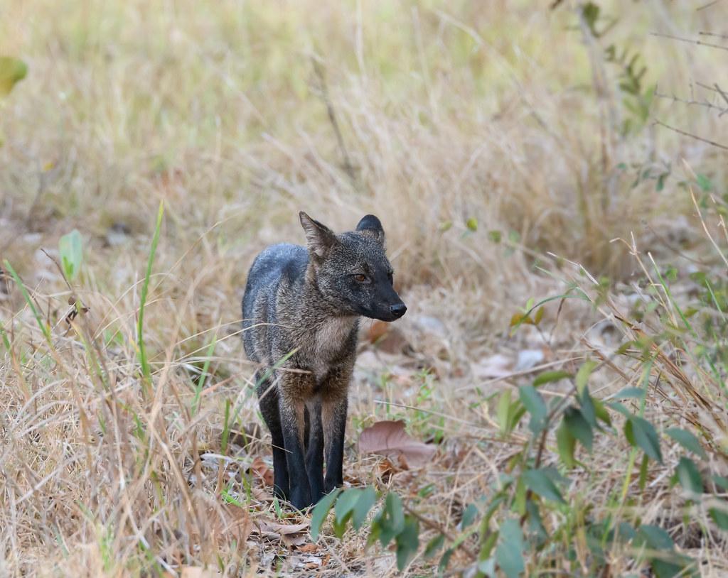 Crab-eating fox - Forest fox, Renard des savanes