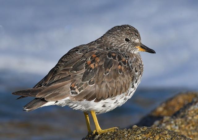 Monterey Surfbird