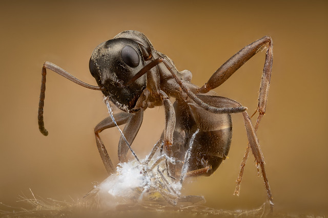 Black garden ant with prey a Woolly beech aphid