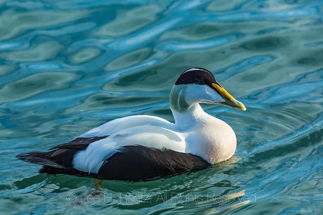 Common Eider Wintering in Iceland