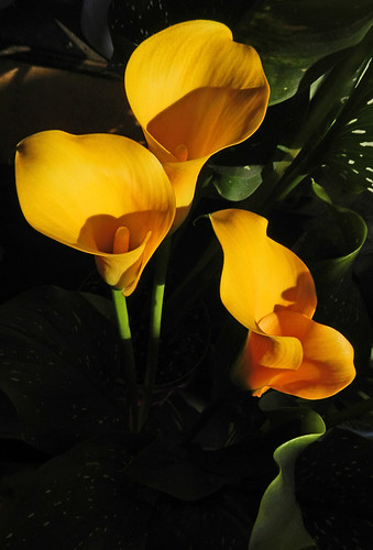 bright yellow Calla Lily flowers at Granville Island in Vancouver