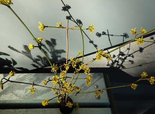 Yellow Witch Hazel in a display of February's spring flower arrangement outside in the Van Dusen Garden in Vancouver, Canada