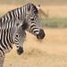 Plain Zebras