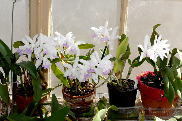 Cattleya intermedia var. amethystina 'Aranbeem' species orchid 5-20*