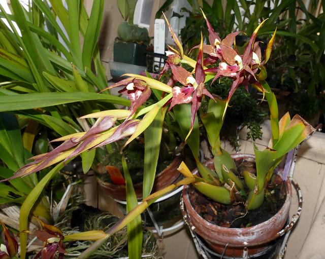 Rhynchostele cordata 'Pacifica' x 'Leopard' am 1-5-1 species orchid 5-20