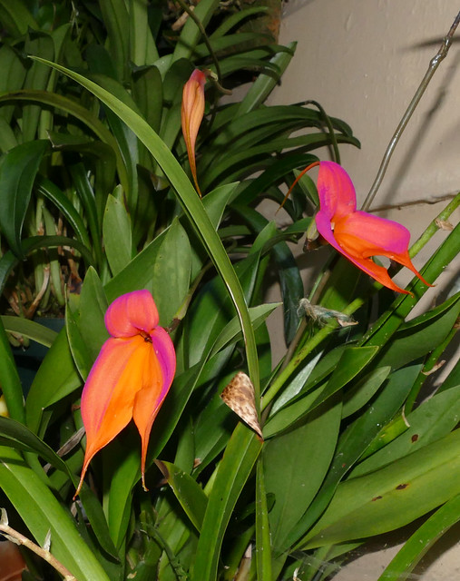 Masdevallia veitchiana ('Pacific Giant' x 'Bolin') species orchid 5-20